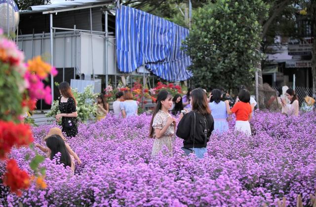 """Náo nức """"check in"""" vườn hoa thạch thảo tím """"lịm tim"""" ở Đà Nẵng - 9"""
