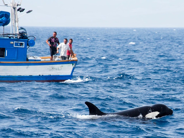 Nguyên nhân tại sao cá voi sát thủ liên tục tấn công tàu thuyền? - 1
