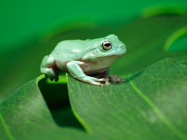 Con ếch điếc - 1