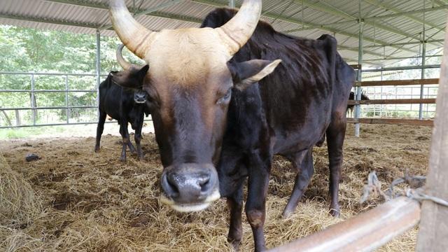 Khẩn trương giải cứu đàn bò tót đang có nguy cơ chết đói - 2