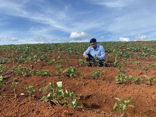Từ phận làm thuê đến người trồng khoai lang nhiều nhất ở Đắk Nông  - 3