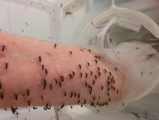 Cho hàng nghìn con muỗi đốt người để nghiên cứu khoa học - 1