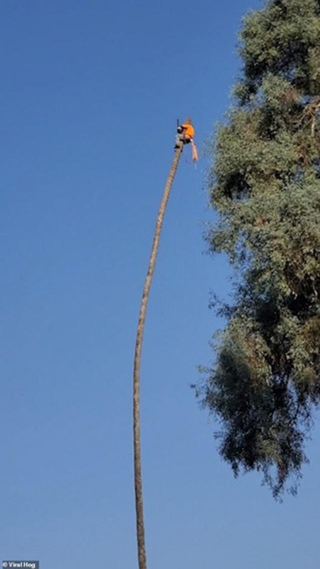 """Khoảnh khắc """"ngàn cân treo sợi tóc"""" của người cắt tỉa cây - 3"""