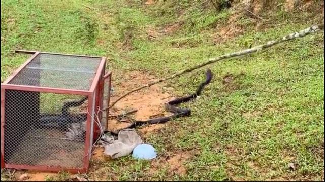 Bàn giao cá thể Voọc Lào quý hiếm cho trung tâm cứu hộ linh trưởng - 2