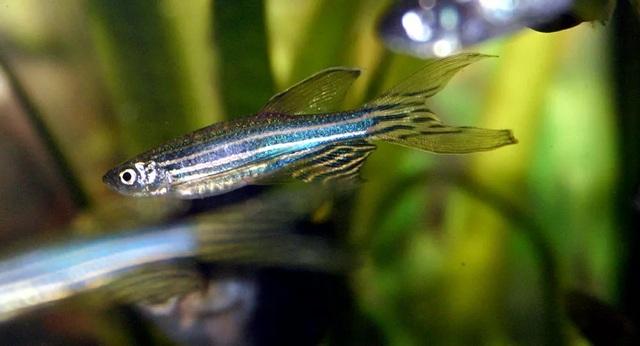 Loài cá có tiềm năng giúp chữa bệnh mù lòa ở người - 1