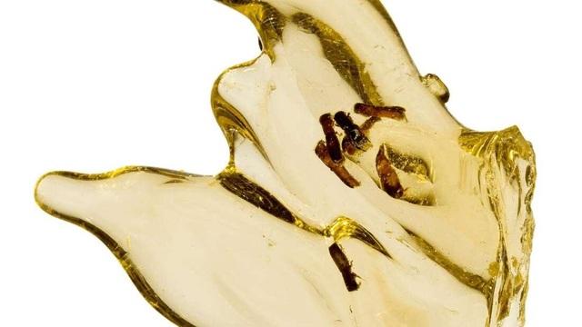 Lần đầu tiên chiết xuất thành công DNA côn trùng được nhúng trong hổ phách - 1
