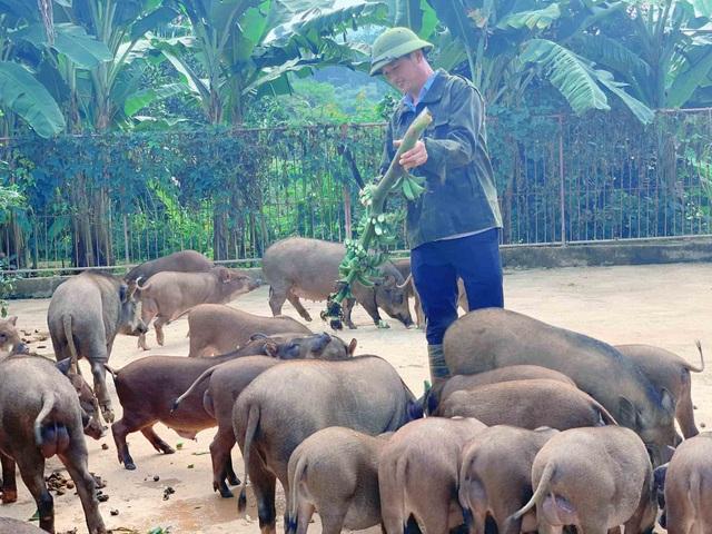 Đàn lợn rừng ăn dược liệu: Anh cán bộ xã thu tiền tỷ mỗi năm - 1