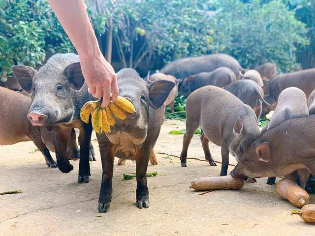 Đàn lợn rừng ăn dược liệu: Anh cán bộ xã thu tiền tỷ mỗi năm - 3