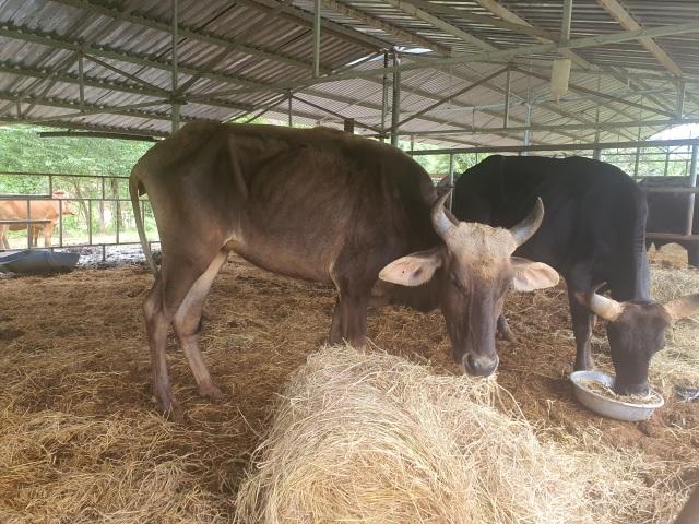 Đàn bò tót gầy trơ xương sẽ được thả ra môi trường bán tự nhiên - 1