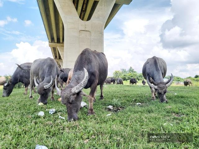 Nữ tướng sở hữu đàn trâu tiền tỷ gần 200 con ở bãi sông Hồng - 10