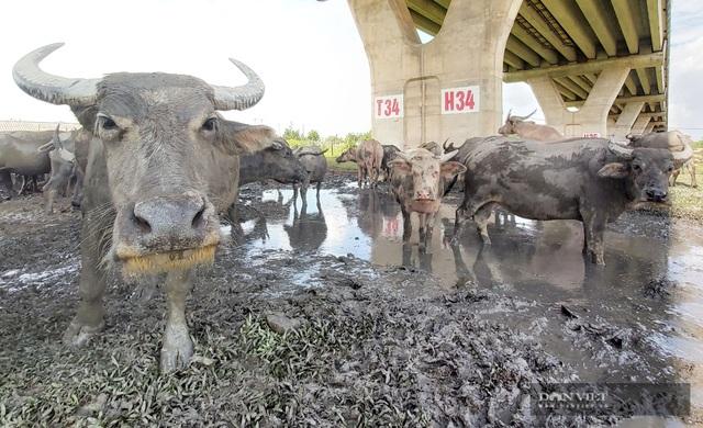 Nữ tướng sở hữu đàn trâu tiền tỷ gần 200 con ở bãi sông Hồng - 11