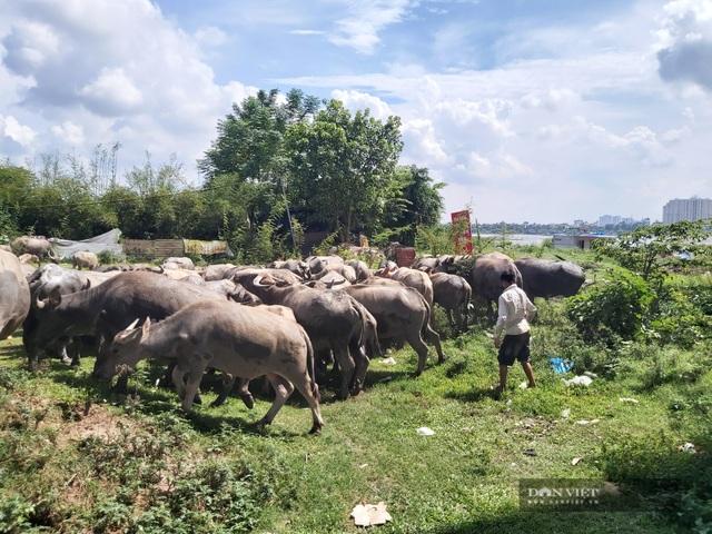 Nữ tướng sở hữu đàn trâu tiền tỷ gần 200 con ở bãi sông Hồng - 2