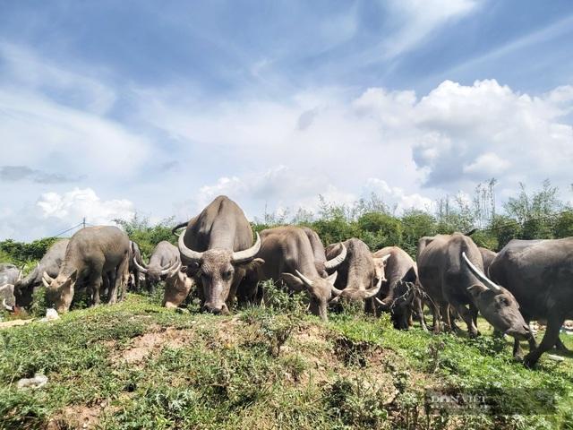 Nữ tướng sở hữu đàn trâu tiền tỷ gần 200 con ở bãi sông Hồng - 3