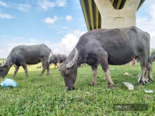 Nữ tướng sở hữu đàn trâu tiền tỷ gần 200 con ở bãi sông Hồng - 4