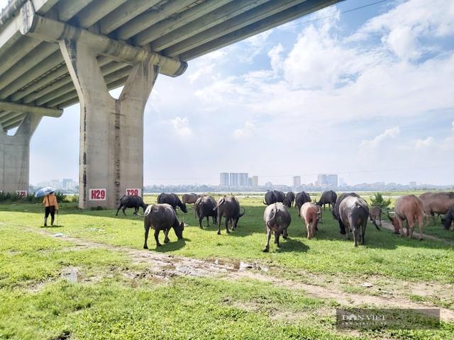 Nữ tướng sở hữu đàn trâu tiền tỷ gần 200 con ở bãi sông Hồng - 7
