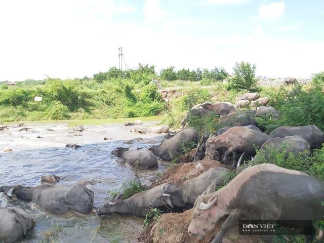 Nữ tướng sở hữu đàn trâu tiền tỷ gần 200 con ở bãi sông Hồng - 8