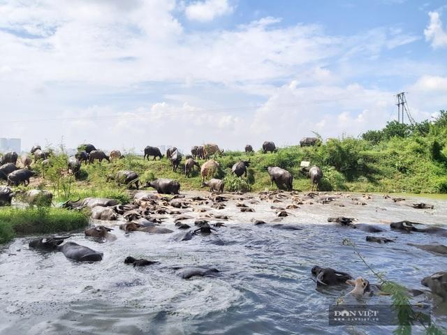Nữ tướng sở hữu đàn trâu tiền tỷ gần 200 con ở bãi sông Hồng - 9