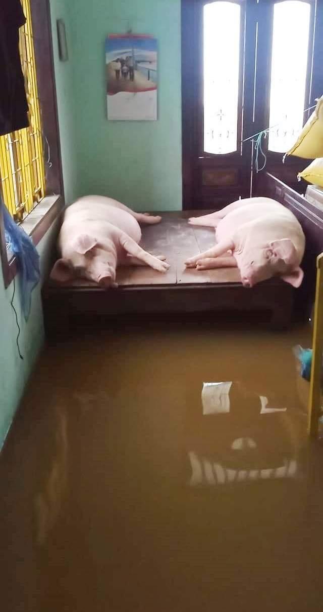 Người dân trú trên gác mái, cho lợn lên giường tránh lũ - 6