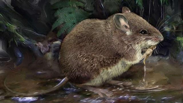 Phát hiện loài chuột thủy sinh kỳ quái mới - 1