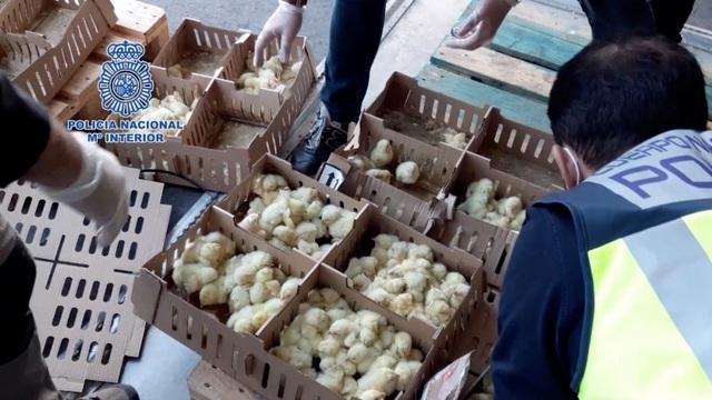 Phát hiện 23.000 gà con chết trong hộp giấy tại sân bay Tây Ban Nha - 1