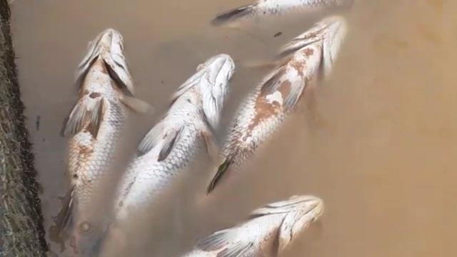 """Người dân khóc ròng"""" khi hàng chục tấn cá lồng gần xuất bán bị chết trắng - 2"""