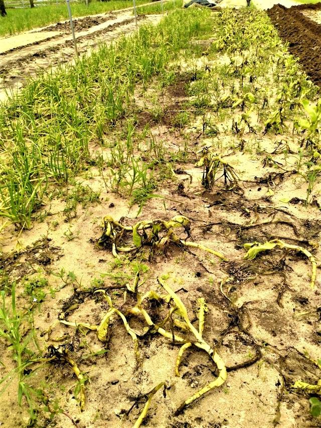 Quặn lòng nhìn những làng rau quả thiệt hại nặng sau mưa lũ - 11