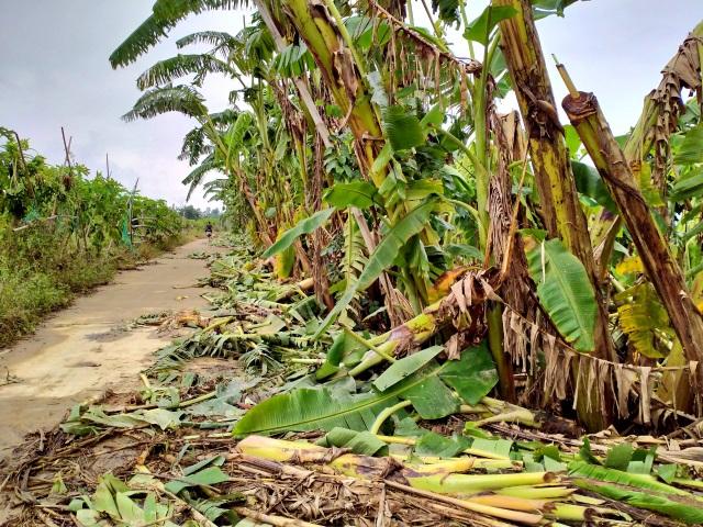 Quặn lòng nhìn những làng rau quả thiệt hại nặng sau mưa lũ - 5