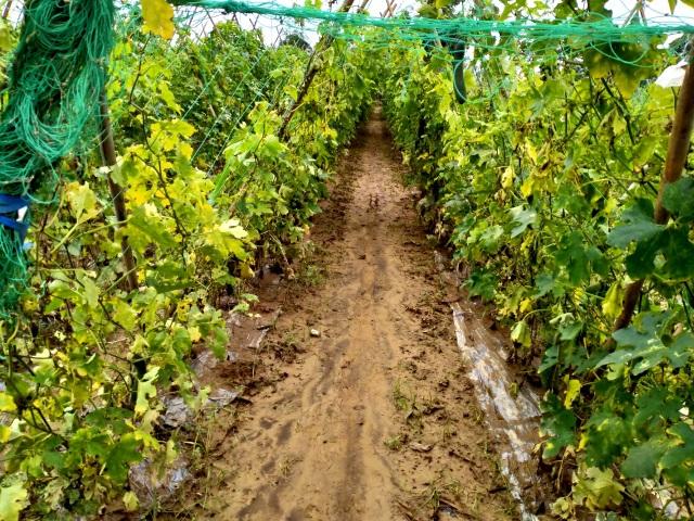 Quặn lòng nhìn những làng rau quả thiệt hại nặng sau mưa lũ - 6