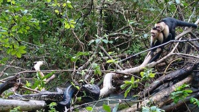 Bầy khỉ nỗ lực hợp sức giải cứu con non khỏi vòng vây của trăn săn mồi - 1