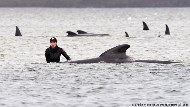 Vì sao cá voi và cá heo bị mắc cạn? - 1