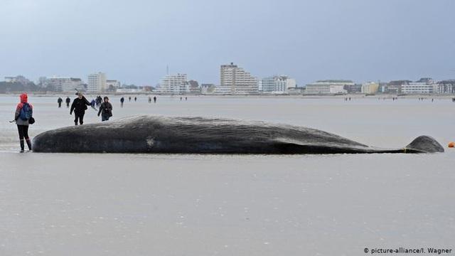 Vì sao cá voi và cá heo bị mắc cạn? - 3