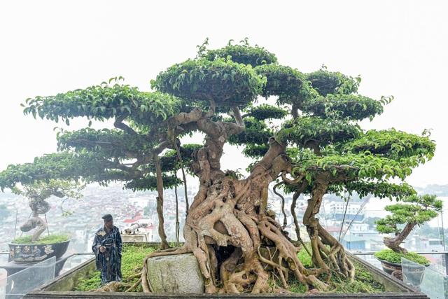Cây sanh cổ trăm tuổi đắt giá ngang căn chung cư cao cấp ở Hà Nội - 1
