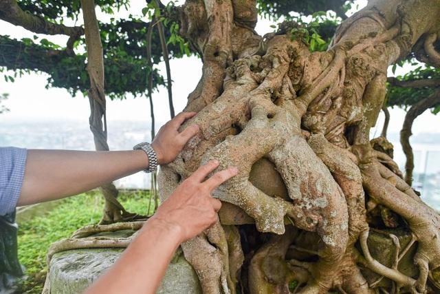 Cây sanh cổ trăm tuổi đắt giá ngang căn chung cư cao cấp ở Hà Nội - 2