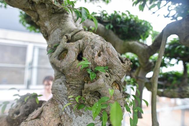 Cây sanh cổ trăm tuổi đắt giá ngang căn chung cư cao cấp ở Hà Nội - 5