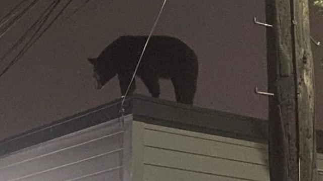 Truy tìm gấu đen nặng hơn 130 kg trèo lên mái nhà ở New Jersey - 1
