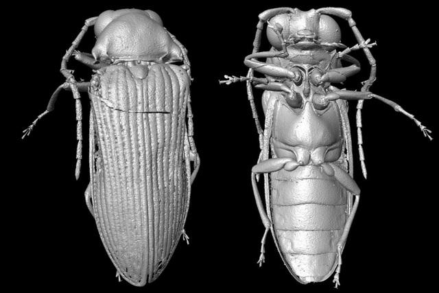 Tái tạo hình ảnh bọ cánh cứng từ kỷ Phấn trắng 99 triệu năm trước - 1