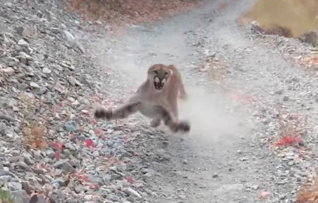 Video hú vía báo sư tử rình rập, chực nhảy xổ vào người đi đường - 1
