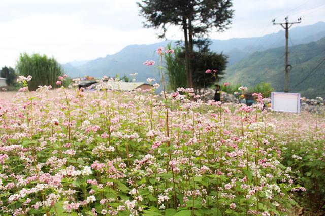 Tháng 10 về rủ nhau ngắm cánh đồng hoa tam giác mạch đẹp mê mải ở Hà Giang - 1