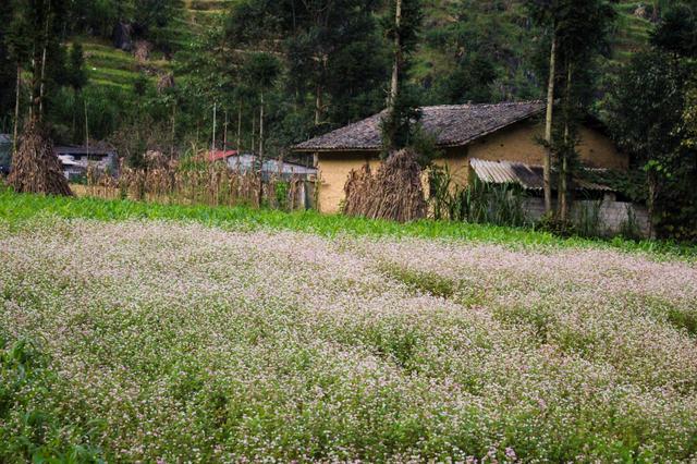 Tháng 10 về rủ nhau ngắm cánh đồng hoa tam giác mạch đẹp mê mải ở Hà Giang - 3