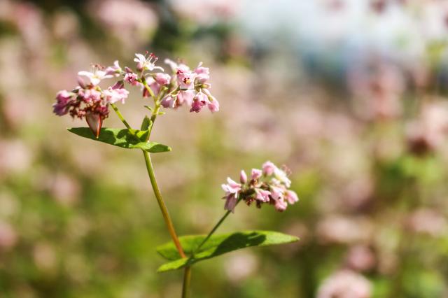 Tháng 10 về rủ nhau ngắm cánh đồng hoa tam giác mạch đẹp mê mải ở Hà Giang - 4
