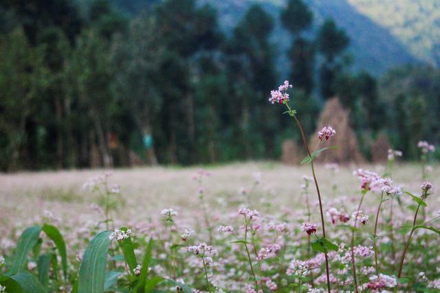 Tháng 10 về rủ nhau ngắm cánh đồng hoa tam giác mạch đẹp mê mải ở Hà Giang - 6
