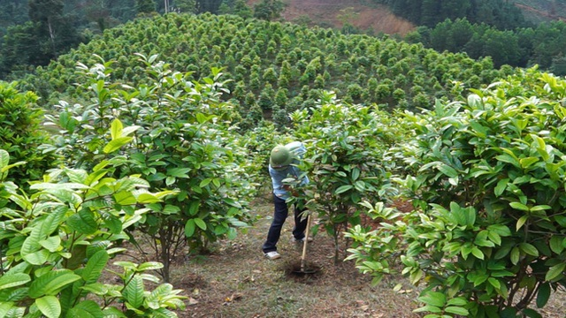 Tỷ phú nông dân trồng loài cây xanh ngắt nhưng ra thứ hoa quý bán đắt như giá vàng - 2
