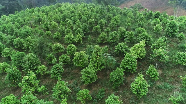 Tỷ phú nông dân trồng loài cây xanh ngắt nhưng ra thứ hoa quý bán đắt như giá vàng - 3