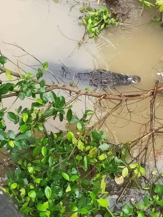Đồng Tháp: Hoảng hồn vì cá sấu khủng nổi lập lờ dưới sông - 1