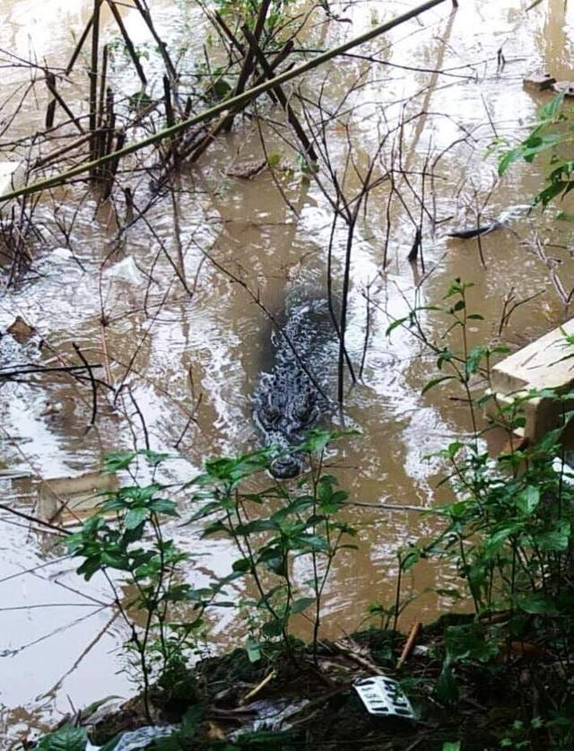 Đồng Tháp: Hoảng hồn vì cá sấu khủng nổi lập lờ dưới sông - 2