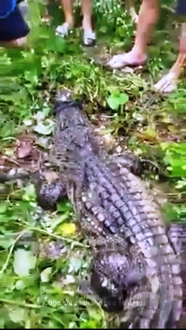 Đồng Tháp: Hoảng hồn vì cá sấu khủng nổi lập lờ dưới sông - 4