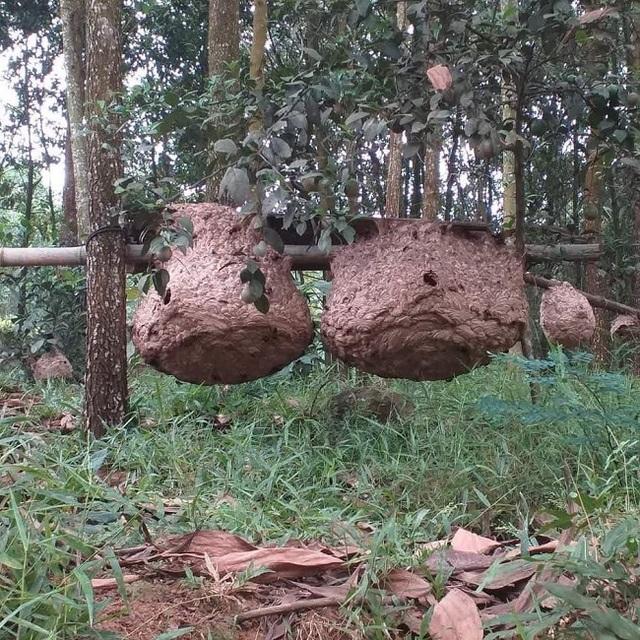 Nuôi ong kịch độc lấy thịt, thương lái lùng mua nửa triệu đồng/kg - 2