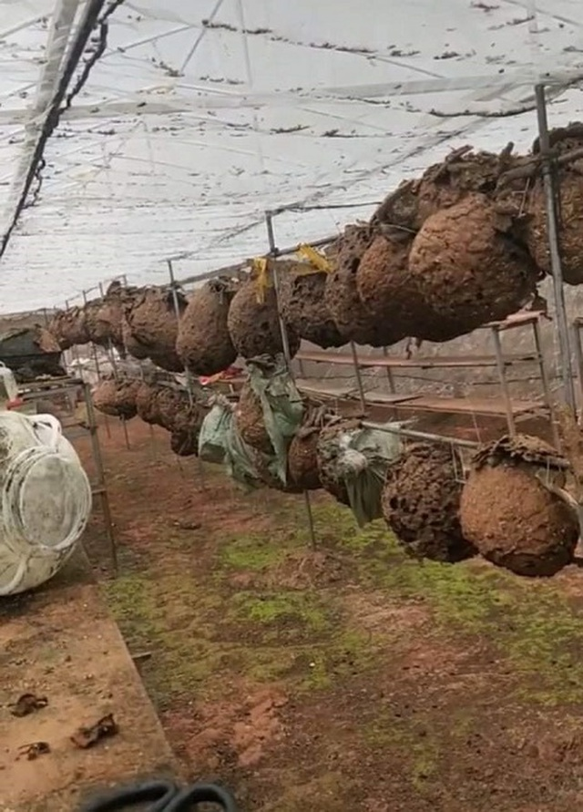 Nuôi ong kịch độc lấy thịt, thương lái lùng mua nửa triệu đồng/kg - 3