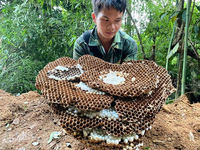 Nuôi ong kịch độc lấy thịt, thương lái lùng mua nửa triệu đồng/kg - 4