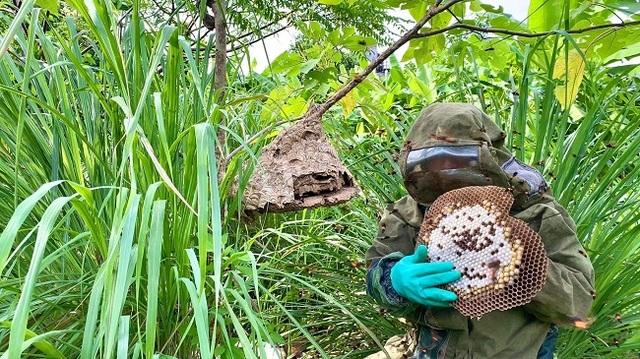 Nuôi ong kịch độc lấy thịt, thương lái lùng mua nửa triệu đồng/kg - 5